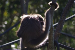 Spider Monkey 1 - Paignton ZooWM